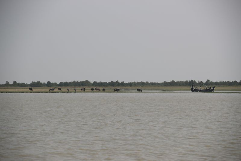 FILE PHOTO: FILE PHOTO: Buffaloes are seen on the island of Bhasan Char in the Bay of Bengal