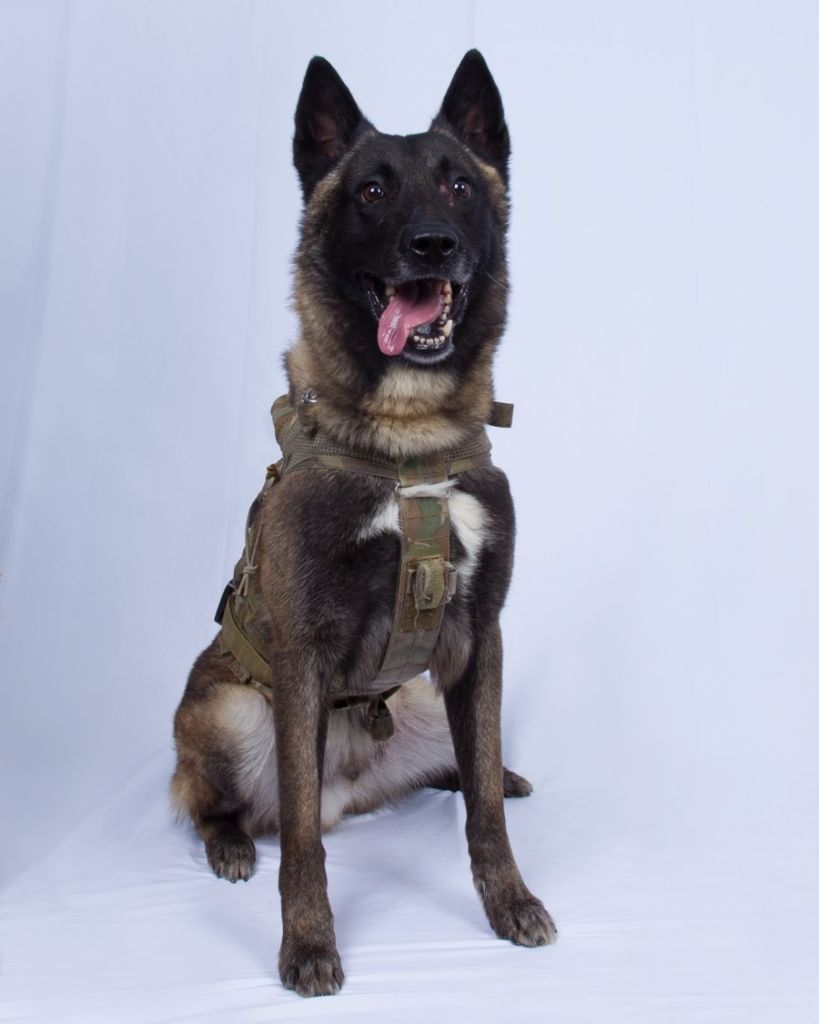 OCTOBER 30 - UNSPECIFIED, SYRIA: In this undated handout image provided by the Department of Defense, the military working dog who sustained minor injuries during the raid on ISIS leader Abu Bakr al-Baghdadi's compound is seen. The dog is a 4 year veteran of the SOCOM K-9 program and has been a member of approximately 50 combat missions. On October 26, 2019, U.S. Special Operations forces closed in on al-Baghdadi's compound in Syria with a mission to kill or capture the terrorist. The dog has returned to duty after being injured by a live electrical cable from the explosion of al-Baghdadi's suicide vest, which was detonated during the raid. (Photo by Department of Defense via Getty Images)