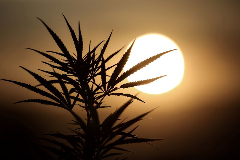 FILE PHOTO: Leaves of a Carmagnola hemp strain plant are silhouetted as the sun sets at a medical cannabis plantation in Trikala