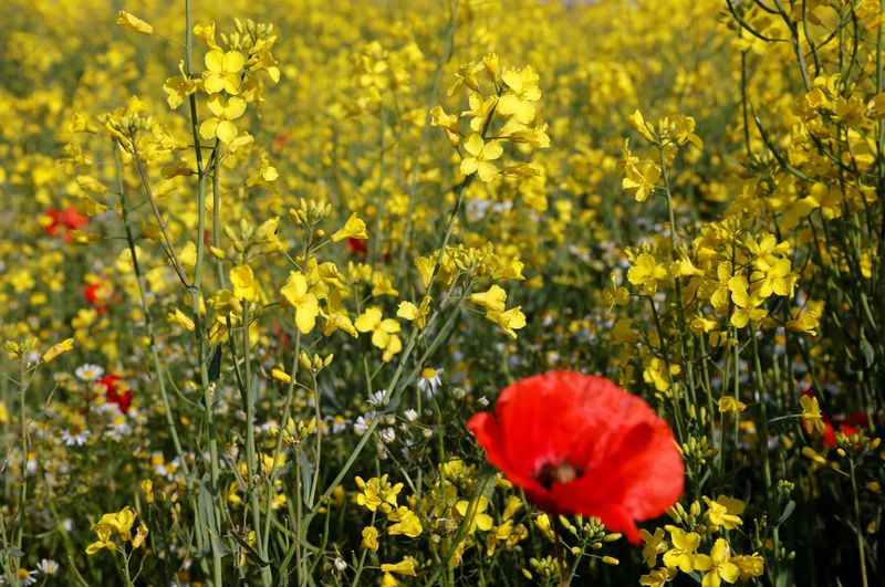 A poppy is seen in a yellow rapeseed field in Tilloy-Lez-Cambrai,