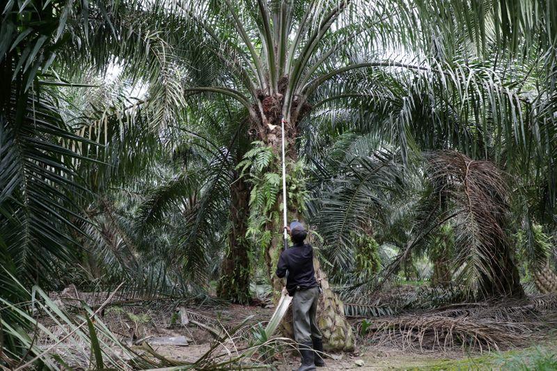 FILE PHOTO: A worker collects palm oil fruits at a plantation, amid the coronavirus disease (COVID-19) outbreak in Klang