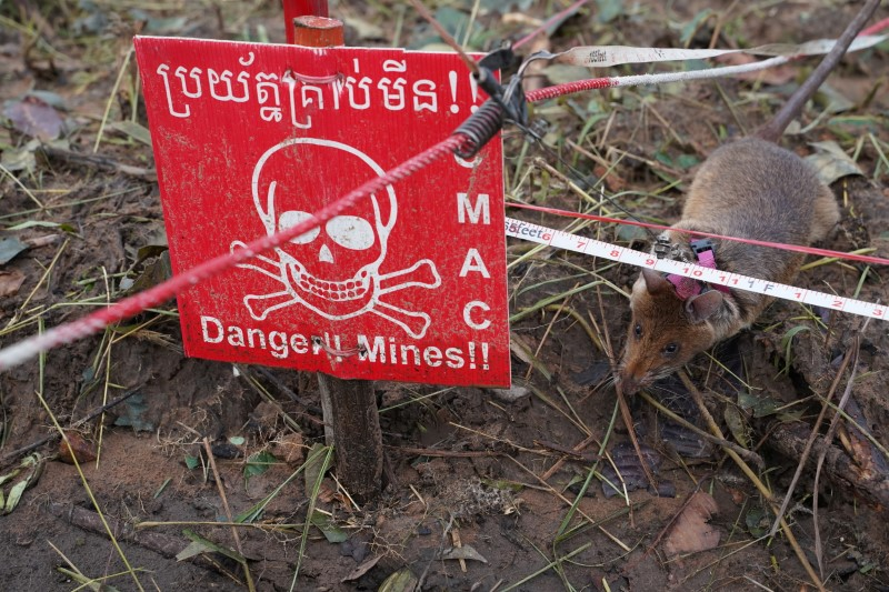 A mine detection rat sniffs for landmines in an area being demined in Preah Vihear province