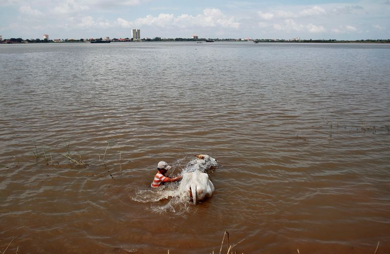 FILE PHOTO: A man washes a cow in the Mekong river in Phnom Penh