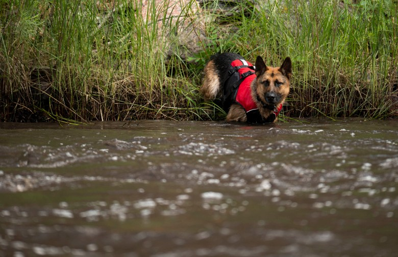 Hawk, a search and rescue dog with Larimer County Search and Rescue, enters the Cache La Poudre River, on Wednesday, July 21, 2021, looking for any of the people missing after a flash flood ripped through the Poudre Canyon near Fort Collins, Colo. (Bethany Baker/The Coloradoan via AP)